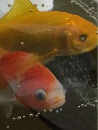 今日金魚を買ったのですが、一匹の目玉の真ん中が白くなっています。これって模様ですか? まだ金魚飼育の初心者などで皆さんの意見が聞きたいです。回答よろしくお願いします。