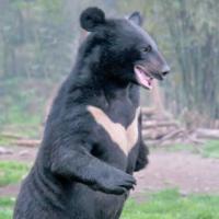 クマと人間が山で遭遇したら、襲いかかってきて殺して食す、プレデターのようなイメージが蔓延してますが、実際は遭遇したらクマのほうがよっぽどびっくりぎょうてんして、尻尾巻いて逃げ出すことのほうが多いで...