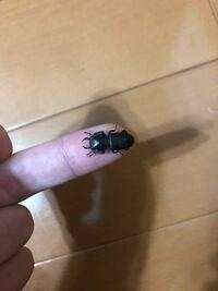 雑木林で見つけたのですが、このとても小さいクワガタは何クワガタでしょうか?