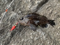 穴釣りで釣れた魚なのですが、この魚はカサゴですか?それともメバルですか?