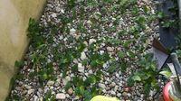 50枚 この草はなんという草ですか?  グリホサート系除草剤をまいてもまるで堪えた様子がないです