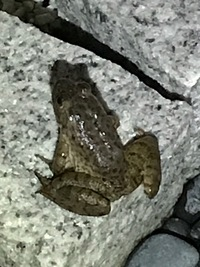 このカエルの名前を教えて下さい。  雨上がりに犬の散歩に出たら、このカエルが道に何匹もいました。 車にひかれてたり、自宅の玄関や庭にもいました。  珍しいカエルでしょうか?