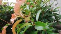 庭の木にアブラムシっぽいのがたくさん出てきましたが、アブラムシでしょうか?(緑色のぷつぷつ) 同じく葉っぱに白くて小さいぷつぷつもあるのですが、これは虫でしょうか?  ほっといても 大丈夫ですか??...
