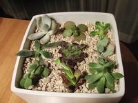 多肉植物カット苗の育て方をお願いします。 調べたら、買ったままの乾いた多肉植物用の土に乾いた苗をさして、1週間経つと根が出るのでそのタイミングで水をあげる、とあったのですが、4日目にして葉がシオシオしてきました。 それでももう少し待ったほうがいいのでしょうか。 あと根が出るとありますが抜いて確認してみたほうが良いでしょうか。 よろしくおねがいします。