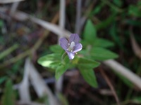 湿地に生えていた植物です。  花の形がタチオオイヌノフグリとかクワガタに似ていますが… 少し違うようです。  背丈10cm前後で花は薄紫色で花の直径5mmくらいです。  名前を知りたいです。