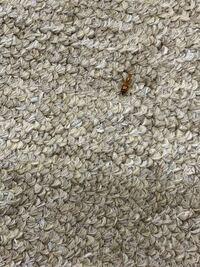 この虫が部屋にいっぱいいるのですがこの虫の名前はなんでしょう?また、なぜ増えるのでしょうか