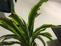 観葉植物でこの症状は、なんですか? 改善方法あれば教えてください。