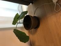 ウンベラータで質問です。 最近、ウンベラータの挿し木を貰いました。 水に入れてしっかり発根したので、植えました。 そこで、この挿し木も今後は親のように、木質化し、幹として太くなるも のですか? ウンベラータというより、挿し木全般の質問ですね。