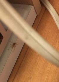 これはアシダカグモですか? 画像が荒くてすみません。 大きさは足の先から先まで3cmもなかったと思います。  これがアシダカグモ(の子供?)だとしたら、うちにはゴキがいる可能性が高いっ てことですよね……...