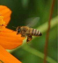 ニホンミツバチですか?セイヨウミツバチですか? よろしくお願いします