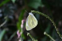 モンシロ蝶かと思って撮ったのですがモンがなく、ではスジクロ蝶?と思ったら黒いスジもなく。。 これはどちらでしょうか?  よろしくお願いいたします。