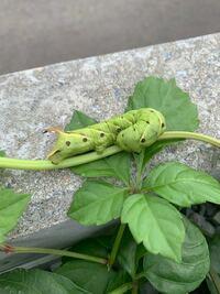 今朝、サツマイモの葉っぱが食べられており気になっていたら大きい幼虫が見つかりました… お詳しい方、なんの幼虫か分かりますか?