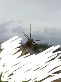 この蜘蛛の種類を教えてください。 窓を開けたいのになかなか開けられません。 夏頃からずっと窓に蜘蛛の巣を張っています。 1度巣を壊したのですがまた戻ってきて巣を作られました。。  毒など持っている蜘蛛な...