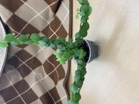 100均で買ってきた観葉植物です。 名前が書いてあった札がどこかへいっていしまい、わかりません。 名前と育て方をご存じの方は教えてください。