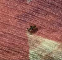 この虫がなにかわかる人いませんか? 3~4ミリ程度の触覚がある、羽が透明のなかに黒い模様のついた虫です。しらべてもわかりません(;_;)