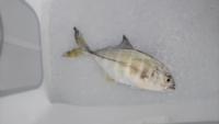 釣り初心者です。 こちらの魚の種類がわかる方教えていただけませんか? また、食べられる魚か、食べ方も教えていただけると助かります。 体調は20~25cmほどです。