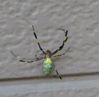 これってなんていう種類の蜘蛛ですか?  毒蜘蛛ですか?