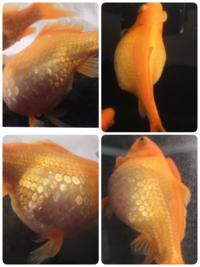 金魚のお腹が膨れてパンパンになってます。 ここ2~3ヶ月でどんどん大きくなってきました。それ以前から尾ぐされ病も発症してました。 やったことはまず水槽の掃除、水全換え、フィルター交換で1週間餌なし、 そ...