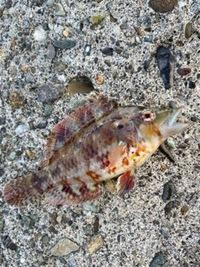 この魚なんですか?ちなみに神奈川県です ベラの仲間?