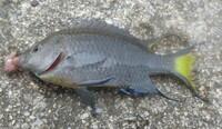 魚の名前を教えて下さい。沖縄県中城村浜漁港で釣った小魚です。足元にたくさん群れていました。背びれや胸びれの青色がきれいです。あと、尾びれの黄色もきれいです。どうぞよろしくお願いします。