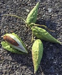 この植物の名前を知りたいです。 わかる方ご教示ください! 写真は海辺で見つけた、つる植物の実です。