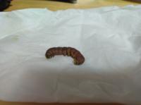 この虫は何でしょうか。鍋に入っていました。主人が気づいたそうなのですが、虫嫌いの私や子供が食べなくなるといけないと思い、食事中は言わなかったそうです。 食後に明かされ、余計気分が悪いです。 鍋には、...