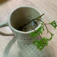 はじめまして。ポリシャスの挿し木についてです。 半年ほど前に購入したポリシャスが根腐れを起こしてしまったため挿し木をしようと思うのですが、昨日茎を切ったあと水揚げをせずに土に入れてしまいました。今日...