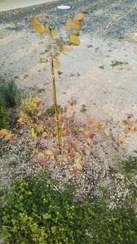 ユーカリの育て方について。 数ヶ月前に、ユーカリを購入し地植えしました。水不足だったようで、地植えして3日後には葉がパリパリになりほとんど落ちてしまいました。 それから毎日、朝晩た っぷり水やりして、少しづつ葉が増えてきましたが、葉が落ちた茎から一切新芽がでず(葉先からのみ新芽でてます)、また株元は、枝があちこち方向へ伸びてる状態です。 質問ですが、支柱でとめている枝は、もうこのまま葉...