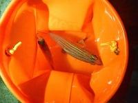 石垣島の離島ターミナルの堤防からチョイ投げ釣りで釣れた20cm弱の魚です。なんて名前の魚か教えてください。  同じような魚で、10cmくらいのと5cmくらいのも釣れました。(写真にうっすら写 ってます)合わせ...