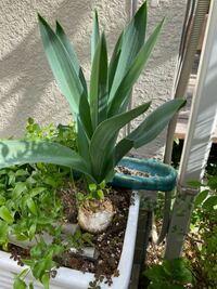 玉ねぎみたいな球根を植えてると葉出てきたのですが名前が分かりません。 この植物の名前ご存知な方教えて頂けないでしょうか?