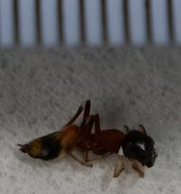 蟻の種類を教えて下さい。 ここ数日、今まで見た事のない蟻が家屋内に浸入してきました。 動きも素早く、見た目も気持ち悪いので、家内も怖がっています。 ネットで調べても種類や退治方法が分からなかったので、 なんという種類か教えて頂けないでしょうか。