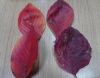 落ち葉の種類。左はソメイヨシノの桜の木の枯れ葉ですが、 右が何の枯れ葉かわかりません。回答お願いします。