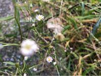 この花の名前を教えてください! かすみ草ではなさそうなのですが、これはかすみ草なんですか?