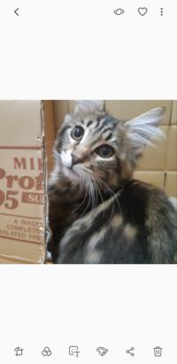 メインクーンです(4ヶ月)ですこの猫どんな猫になりますか?写真でお願いします