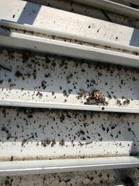ネズミの糞かゴキブリの糞か 中古で購入した琵琶の中からパラパラと音がするので振って穴から出して見たら出るわ出るわ… 調べたらゴキかネズミの糞に近いと思いました 枇杷本体に開いている穴自体は親指の先くらいしかないので大きさ的にあまり大きい動物の糞ではなさそうですがネズミだとちょっとしっかりと掃除したいと思いました。ネズミでしょうか?ゴキでしょうか? 宜しくお願いします。