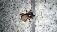 この蜘蛛の種類はなんでしょうか。  東京都23区内なのですが、アシダカやオニグモとは違う大きな蜘蛛がいました。 全体で25mm程、腹部だけで15mm程はありそうでした。 腹部はほぼ球体のよう に厚みがあります...