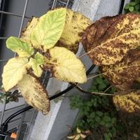 あじさいのアナベルの葉が枯れてきました。どうしてあげたら良いのか、教えてください。(画像添付してます) 庭に地植えでアナベルを植えたのは、今年の5月ぐらいです。6月に3つほど開花しま した。南向きの庭...