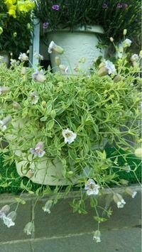 花の名前について、写真の花の名前を知りたいのですが分かる方いらっしゃいましたら教えてください。 春に咲く花のようです。  よろしくお願いします。