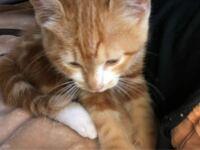 この猫は、アメリカンショートヘア?でしょうか? トラネコ?茶トラでしょうか? 見分けがつきません。