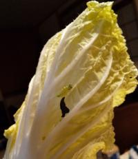 白菜に小さな青虫がついていました。黄色い卵もいくつか。何の幼虫でしょうか?