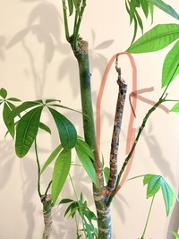 家のパキラの、枝一本が茶色く変色してきました。 一度先端から新芽が生えかけたのですか、気づいたら枯れていて、そのあと画像のように枝全体も茶色くなってきています。 当該の枝をノコギリ か何かで切り落と...