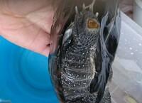 学校で飼育しているクサガメの足の裏がこんなことになっていました。 何かの病気でしょうか?  飼育ケースはプラスチックの衣装ケースです