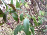 琵琶湖のほとりに生えていたこのつる植物は…? 今年の1月に撮影しました。 かなりブレていて恐縮ですが、 もしこれでも分かる方いらっしゃったら 宜しくお願い致します!