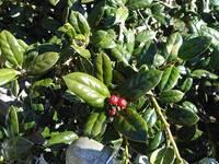この植物の名前がわかる方教えてください!! 棘はなく、葉が肉厚でつやつやで、今赤い実がなっています。  宜しくお願いしますm(_ _)m!!