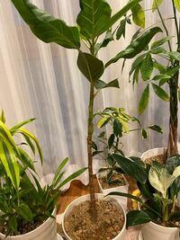 アルテシマの下の方から葉っぱとか枝を生やす方法を教えて下さい。 現状はこんな感じでなんとなく寂しいです。     ホームセンターで元気なく半額で売っていたものです。