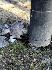 この猫ちゃんはどの猫種なのでしょうか? ずっと気になっており自分で調べたところサイベリアンが近いのではないかと思っております。 雑種なら雑種でいいのですが、もしこれ!と思い当たる名 種がおりましたら...
