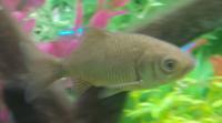 池にいた魚ですが、なんと言う種類でしょうか? 関西の池でエビを捕っていたら紛れ込んできたので、とりあえず熱帯魚水槽で一月ほど様子を見ています。酢で枯れた黒ひげごけも食べてくれています。動きは機敏です。 鯉の稚魚でしょうか?