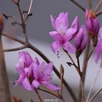 この花は岩ツツジでしょうか?それともミツバツツジでしょうか?見分け方が分かりません、よろしくお願いします。