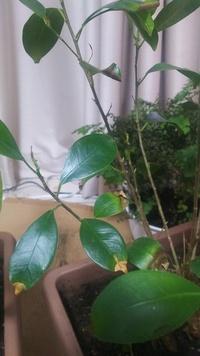 ガジュマルのこの症状は根腐れですか?水不足ですか? 水は1ヶ月近く与えていませんが葉がどんどん落ちていきます。