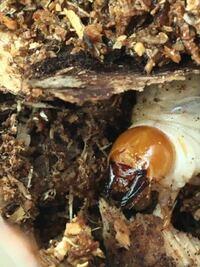 クワガタの幼虫についての質問です。 この写真の幼虫がどの種類のクワガタかわかる方がいらっしゃれば教えて下さい。 ちなみに大きさは、真っ直ぐ伸ばせば4センチほどです。宜しくお願いします。